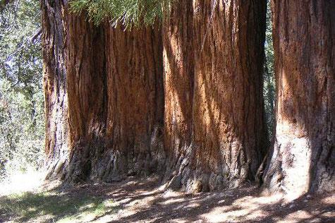 La Sequoias of La Losa - Huéscar