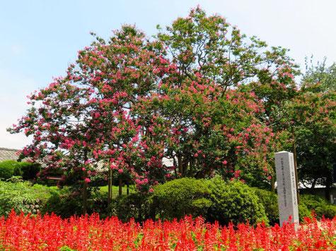 旧富岡製糸場の百日紅(さるすべり)