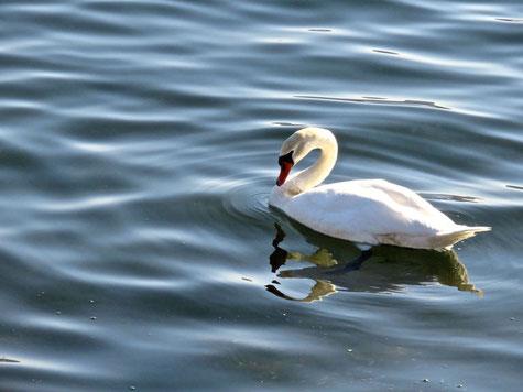山中湖の白鳥 by坊守