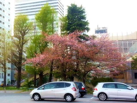 築地本願寺の桜