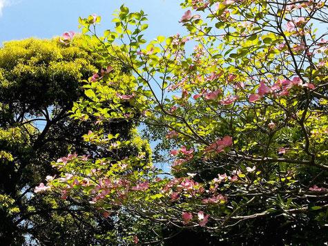浜田緑地の花水木