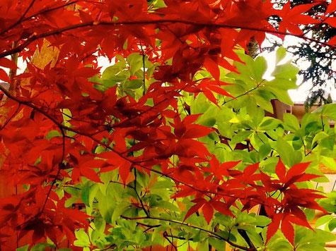 デショウジョウ 若葉が赤いので紅葉しているように見えるのだ!