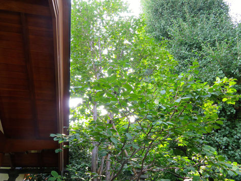 清光寺の沙羅双樹