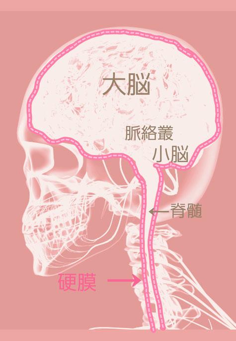 袋井小顔矯正 脳脊髄液の生産と循環と吸収のリズム