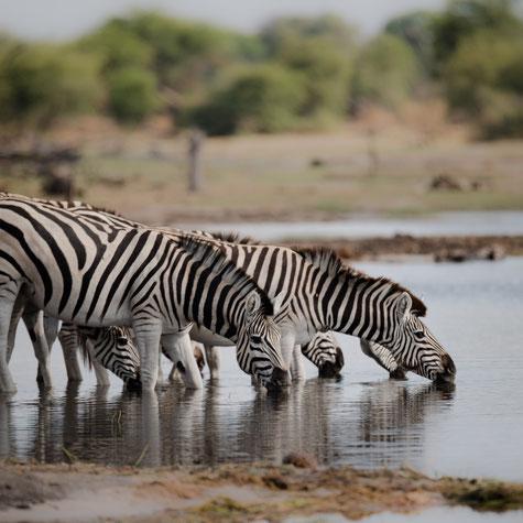 Zebras am Boteti Fluss im Makgadikgadi Nationalpark