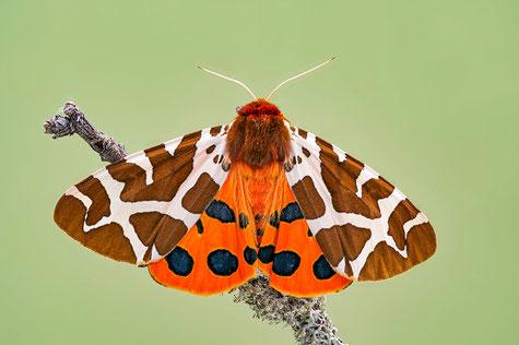 Brauner Bär. Schmetterling des Jahres 2021. Foto: Bernd Flicker