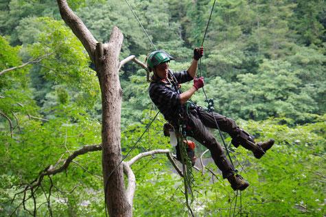 ウッドタワー工法のシングルロープテクニックによる樹木間の空中移動の様子。