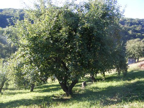Boskoop Apfelbaum