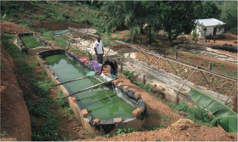 Culture spiruline en Centrafrique