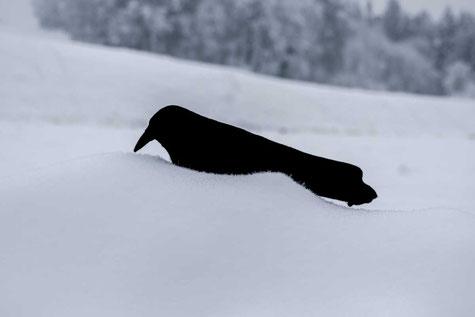 Die Krähenjagdjagd kann auch im Winter bei liegendem Schnee durchgeführt werden.