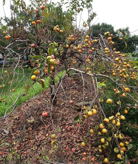 10月3日(2014) たくさん実を付けた柿の木:調布飛行場のそばの水のない水路で