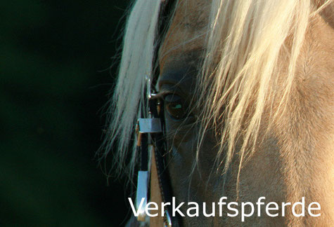 Reinhard Hochreiter berät beim Kauf eines Reining-Pferdes.