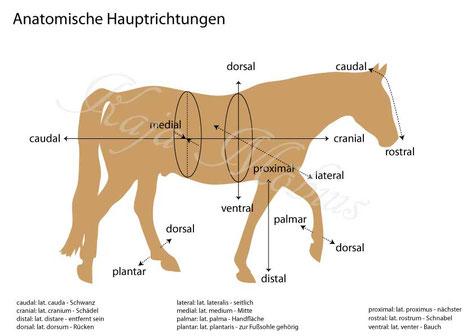anatomische Hauptrichtungen