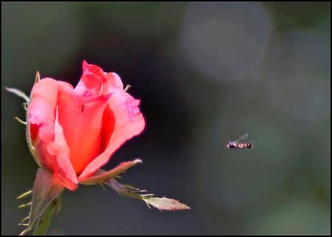 Цветок розы крупным планом и мушка, летящая к цветку