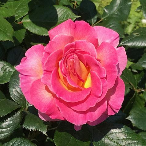 Eine Rose aus dem Wernborner Rosengarten in der Bergstraße/Hallgartenstraße.