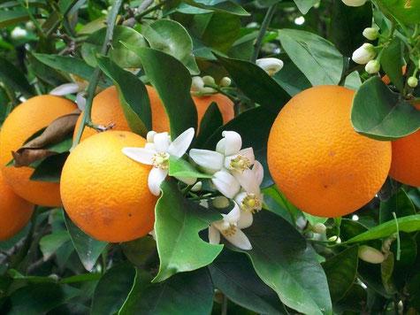 foto: naranjascasanova.com