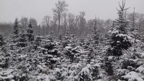 Winterlandschaft, Normann, Weihnachtsbaum, Hildesheimer Wald, Forst