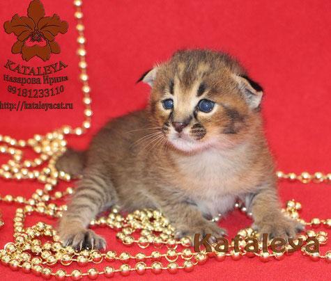 Karacat Baby Foto: Irina Nazarova http://kataleyacat.ru/main