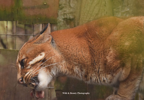 Kater Saigon, Zoo Heidelberg. Foto:K.Mirus