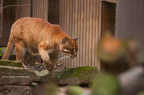 Kater Saigon , Zoo Heidelberg. Foto: K.Mirus