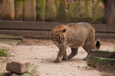 Goldkatze Swa Fai, Zoo Heidelberg  Foto:K.Mirus