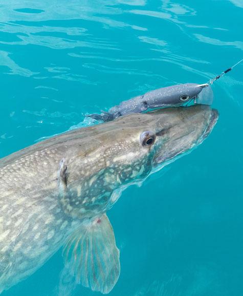 Beim Schleppfischen am Attersee beißt ein 93cm Hecht auf den Schleppköder von www.hechtguide.com