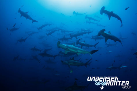 School of hammerhead sharks in Cocos Island, ©Underseahunter Group