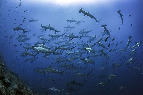 Big school of hammerhead sharks, ©Galapagos Shark Diving