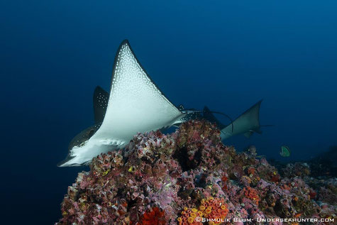 Close encounter with a eagle ray in cocos island, ©Underseahunter Group