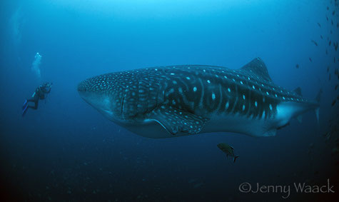 Diver face to face with a huge adult whale shark in the Galapagos Islands