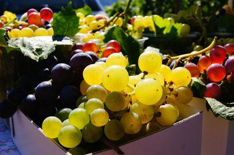 Vins de Bourgogne - Grappes de raisin