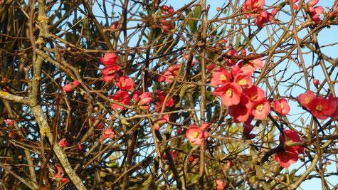 Pommier du Japon en fleur