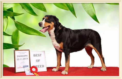 great swiss mountain dog