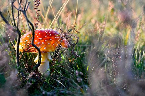 Lüneburger Heide im Herbst - Fliegenpilz