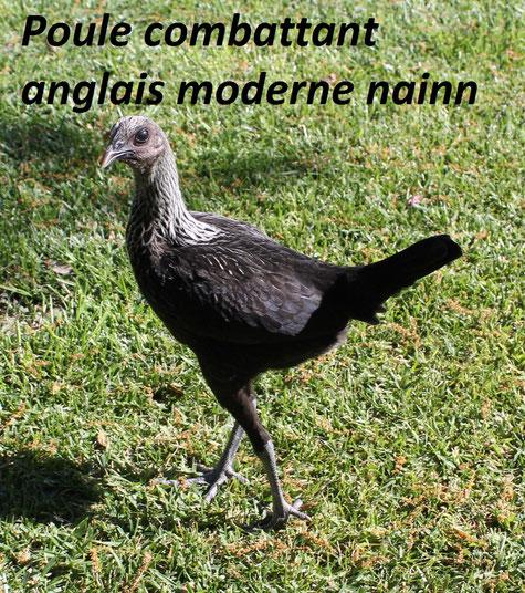 coq poule ornement araucana chabo hérault montpellier grabels belair poules de luxe sud france pondeuse 34 pekin hollandaise à huppe soies chabo