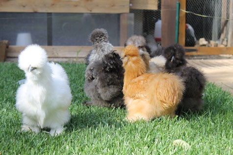 poule soie herault