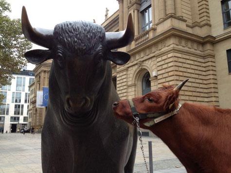 Reit- und Zugochse Urmel der Rasse Rotes Höhenvieh vor Bulle und Bär auf dem Erntefest in Frankfurt am Main