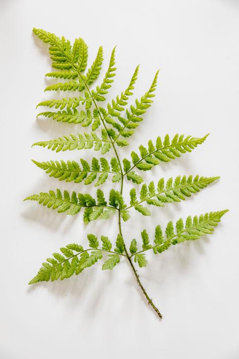 Pflanzenfotografie: Farne