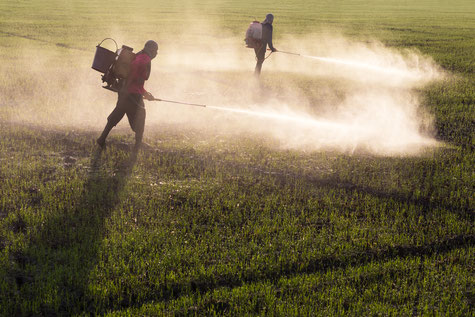 Workers spraying pesticides on a field in India