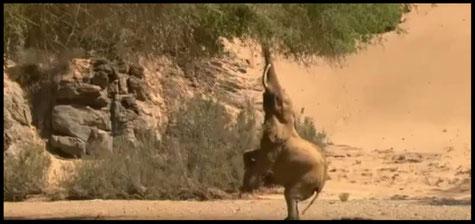 "Vidéos ""Les éléphants du désert"""