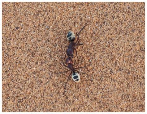 Fourmi des dunes du Namib de Namibie