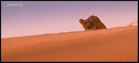 """Vidéos """"Lions de Namibie : les rois du désert"""""""