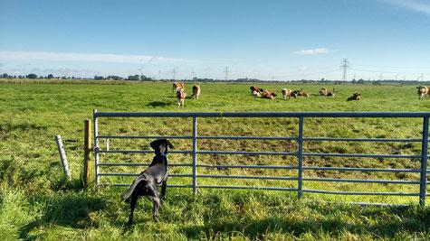 Finch nimmt Kontakt zu den jungen Rindern auf.