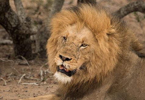 Löwe Makel makellos stark Narbe wild Schönheit schön Photoshop Portrait
