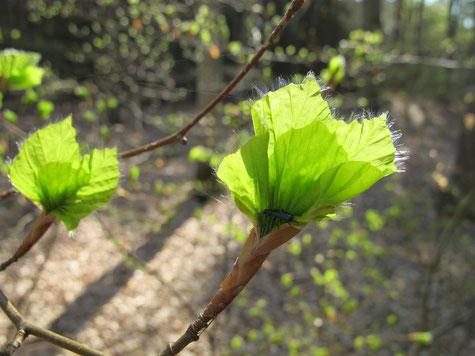 Sonami Corazón, www.center-of-being.com, Buchenlaub im Frühling, Ganzheitliche Heilkunst, Naturtherapie, Entspannung