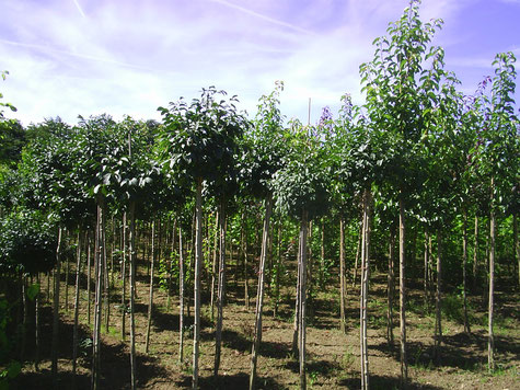 Zierstämme, Hausbäume, Kugelesche, Kleinkronige Bäume, Stämme, Zierformen, Pflanze