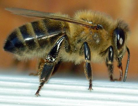 Dunkle Biene