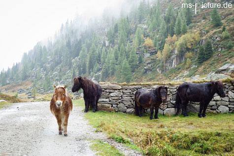 Ponys an der Kehreralm Ahrntal Südtirol