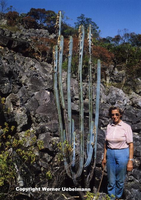 Pilosocereus rosae, am Tag der Entdeckung/ day of discovery, Minas Gerais 1982