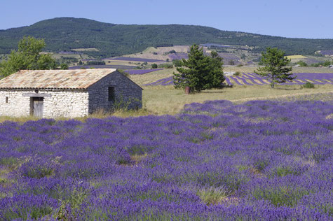 The hills spotted with lavender fields
